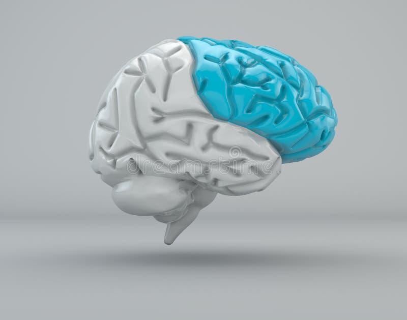 Mózg, czołowy lobe, podział ilustracja wektor