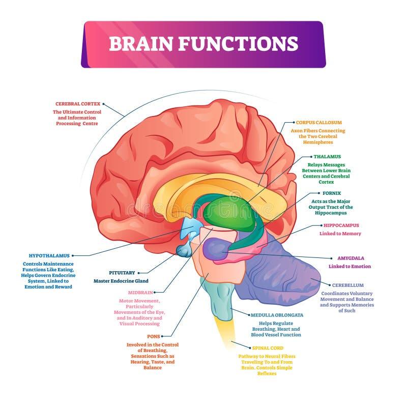 Mózg funkcjonuje wektorowa ilustracja Przylepiający etykietkę wyjaśnienie organowy część plan ilustracji
