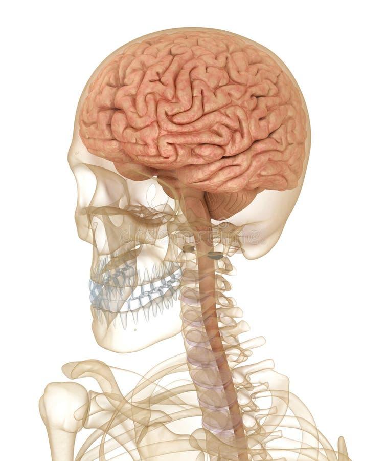 Mózg i szkielet, anatomia człowieka ilustracja wektor