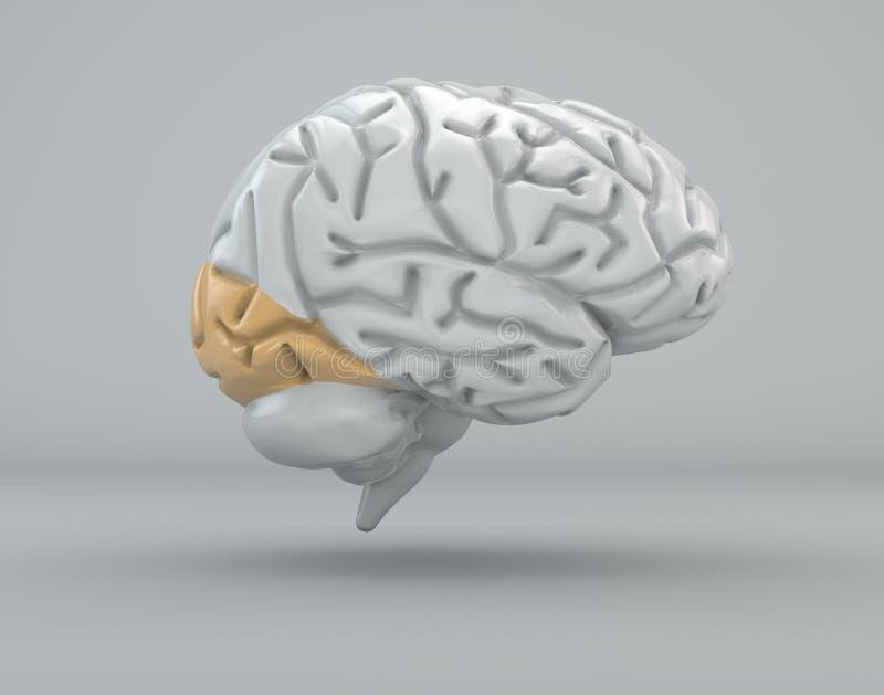 Mózg potylicowy lobe, podział ilustracja wektor