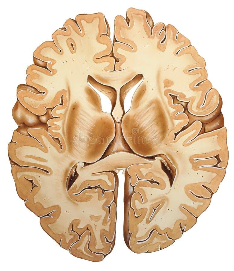 Mózg - przekrój poprzeczny ilustracja wektor