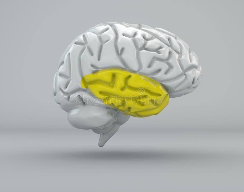 Mózg, skroniowy lobe, podział ilustracja wektor