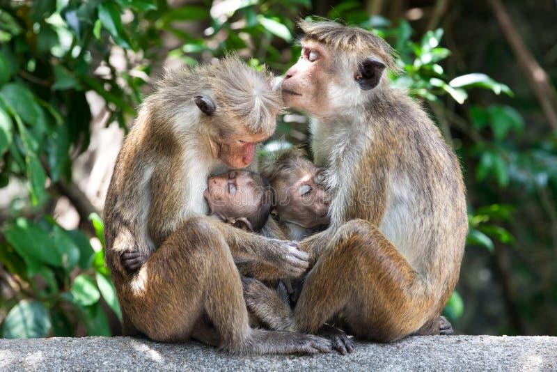 Mödrar med apor för ungt barnhättamacaque royaltyfri fotografi