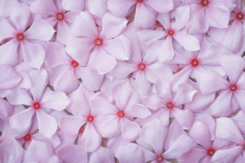 Mönster för blomning av ljusrosa rosa rosa blommor i toppvyn eller kataranthus roseus-textur för naturlig bakgrund royaltyfria bilder