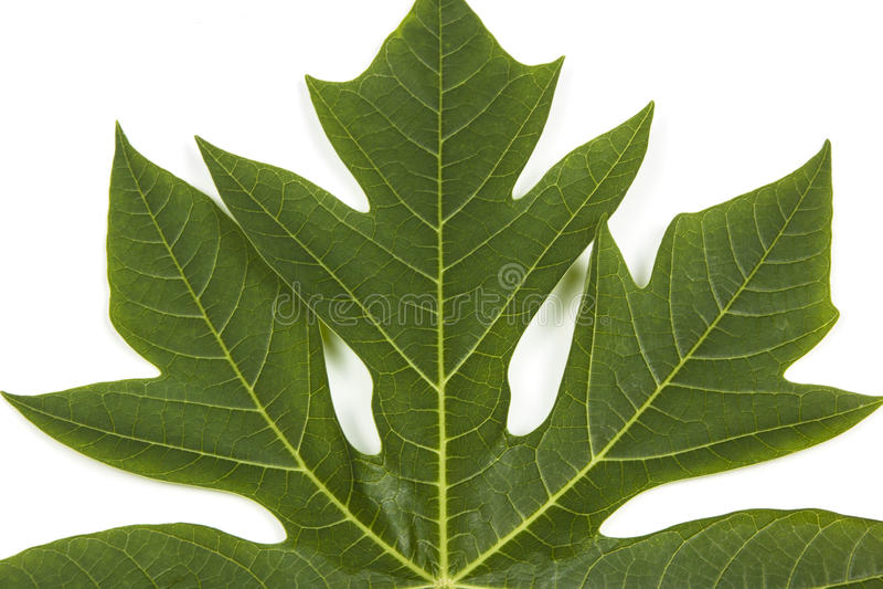 Mönstra och textur av det gröna bladet för Pawpawträdet fotografering för bildbyråer