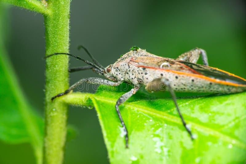 Mördare Bug arkivbild