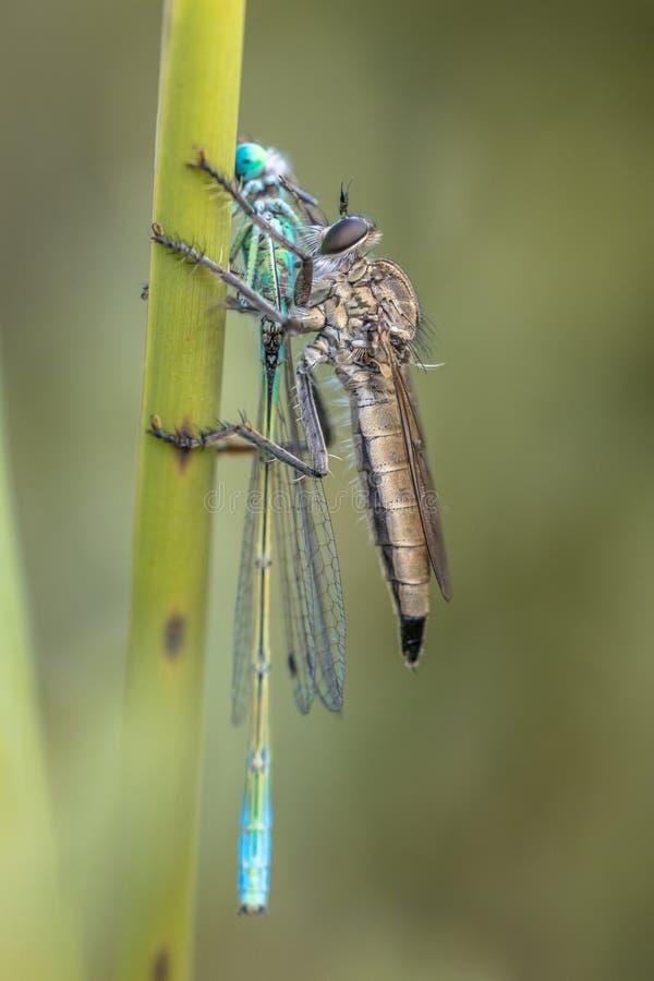 Mördarefluga med damselflyrovet royaltyfria foton