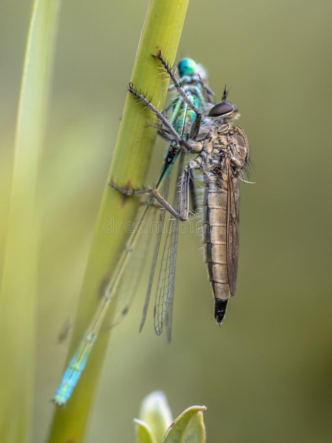 Mördarefluga med det Ischnura damselflyrovet royaltyfri bild