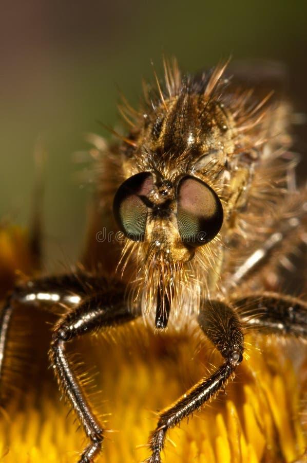 Mörder-Fliege (Lapria flava) stockfotografie