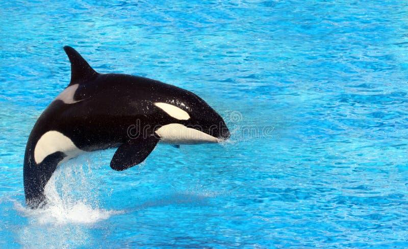 Mörder-Wal stockbilder