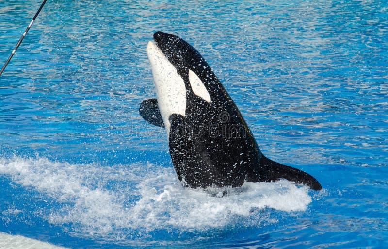 Mörder-Wal stockfotografie