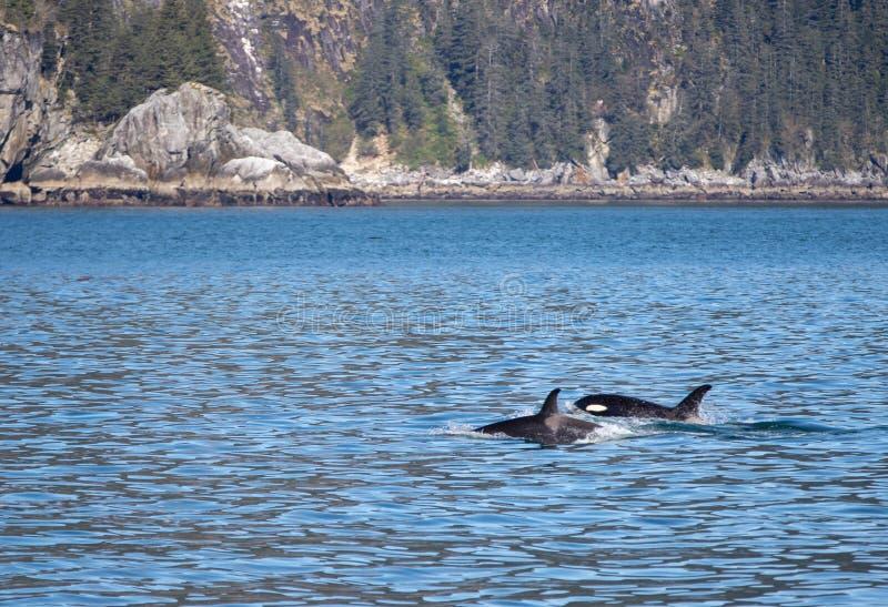 M?rder Whate [Schwertwal] und Baby im Kenai-Fjord-Nationalpark in Seward Alaska USA stockfotografie