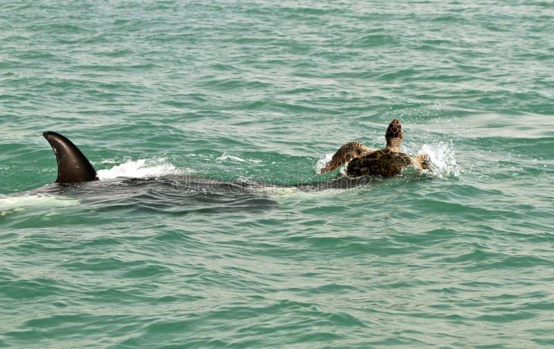 Mörderwal nimmt riesige Schildkröte in Angriff stockfotografie