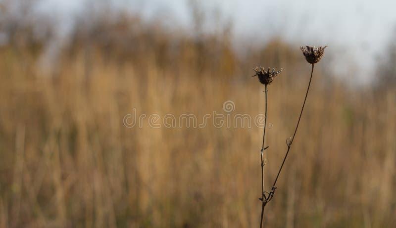 Mörk brunt blommar i höst royaltyfri bild