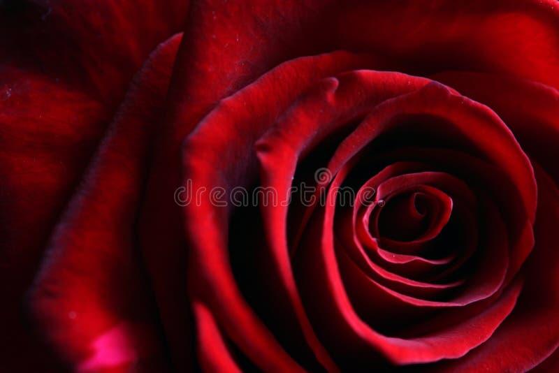 mörk djup fin petalsred steg arkivbild