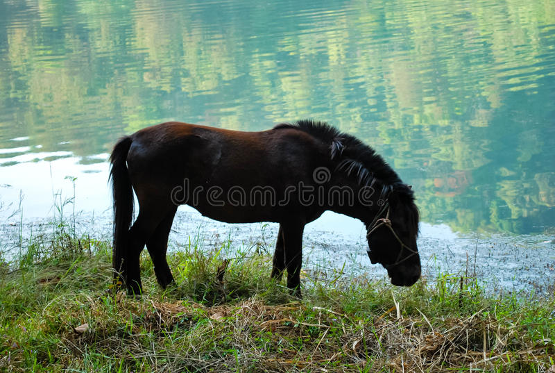 Mörk häst för brun dvärg arkivfoton
