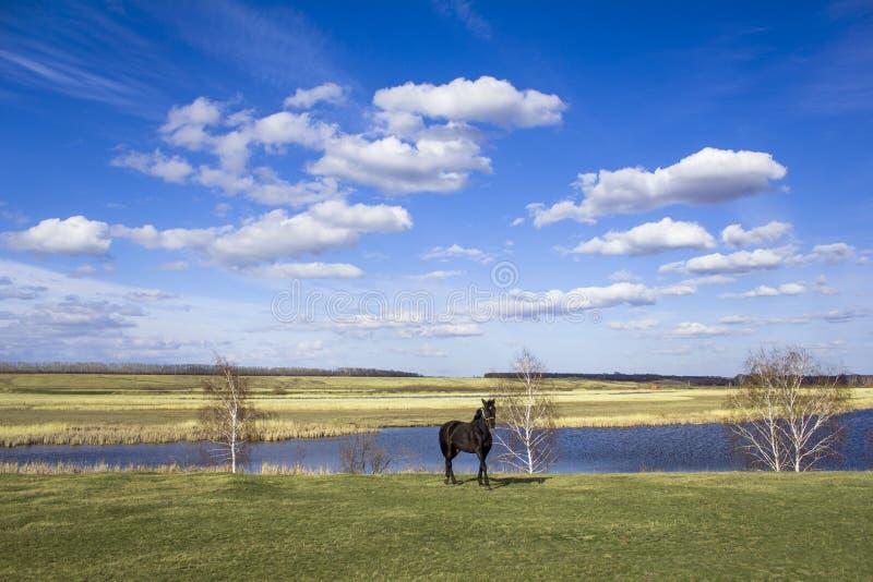 Mörk häst på en grön våräng mot bakgrunden av ett River Valley med torra vasser under en ljus blå himmel med vit royaltyfri fotografi