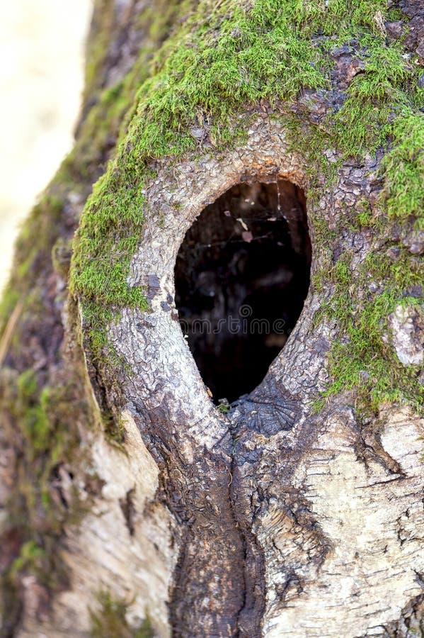 Mörk hollow av den gammala björktreen fotografering för bildbyråer