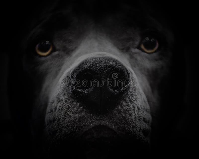 Mörk hundframsida med gula ögon arkivbild