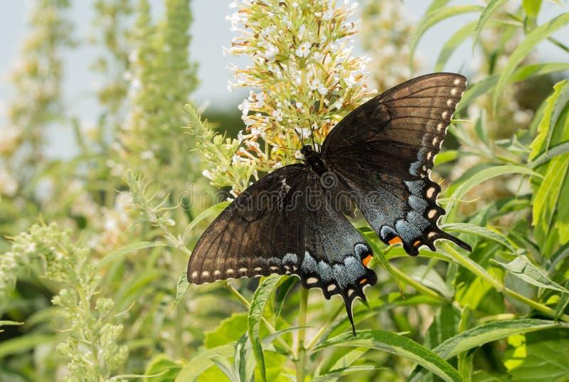Mörk morf av den kvinnliga östliga Tiger Swallowtail fjärilen royaltyfri fotografi