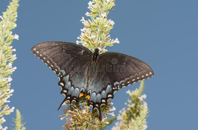 Mörk morf av den kvinnliga östliga Tiger Swallowtail fjärilen som matar på en vit Buddleia fotografering för bildbyråer
