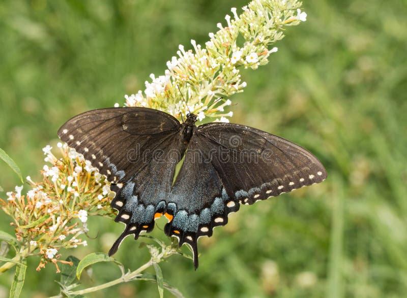 Mörk morf av Tiger Swallowtail som pollinerar en Butterflybush royaltyfria bilder