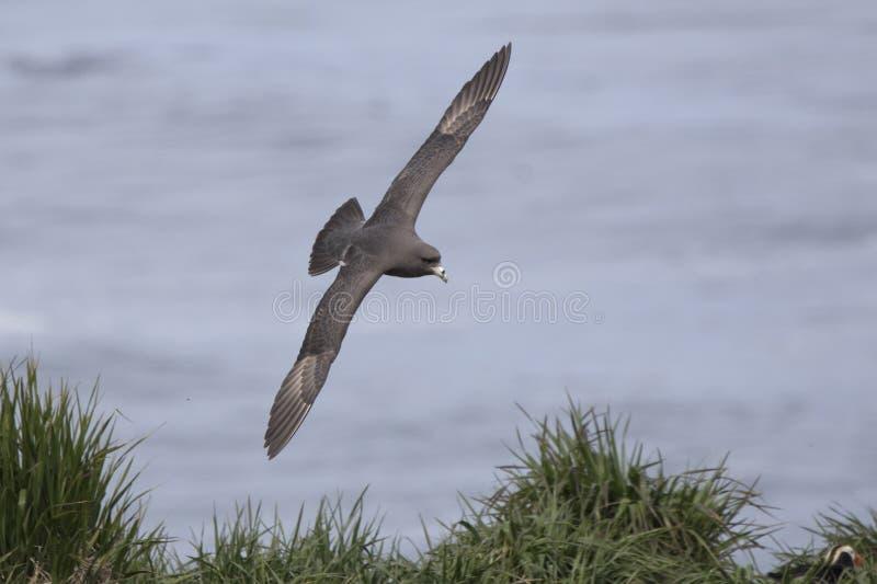 mörk morf för nordlig stormfågel som flyger över gräs- lutning arkivbilder