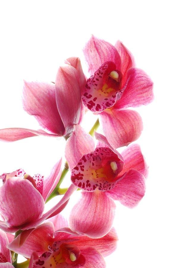mörk orchidpink royaltyfri foto