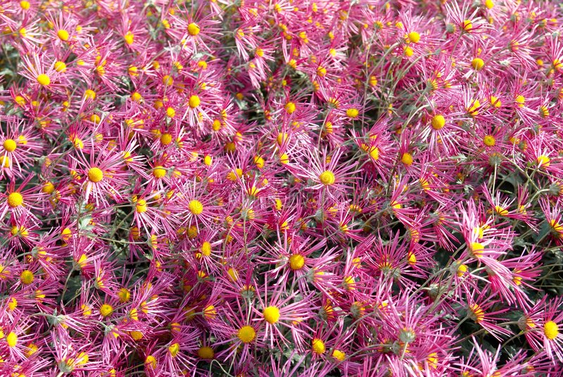 mörk pink för chrysanthemums arkivbild