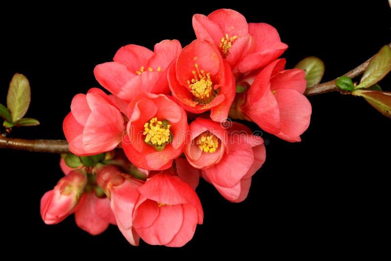 mörk pink för svart blomning arkivfoto