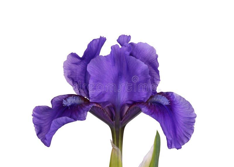 Mörk purpurfärgad blomma av en isolerad dvärg- skäggig iris arkivfoton