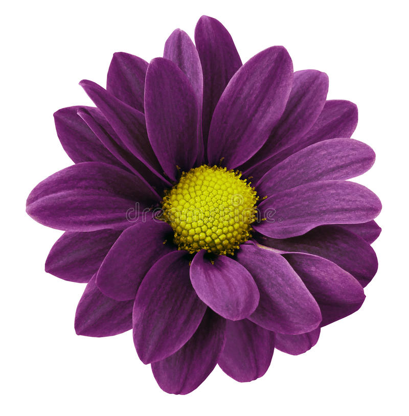 Mörk purpurfärgad gerberablomma Vit isolerad bakgrund med den snabba banan closeup Inget skuggar För design arkivfoton