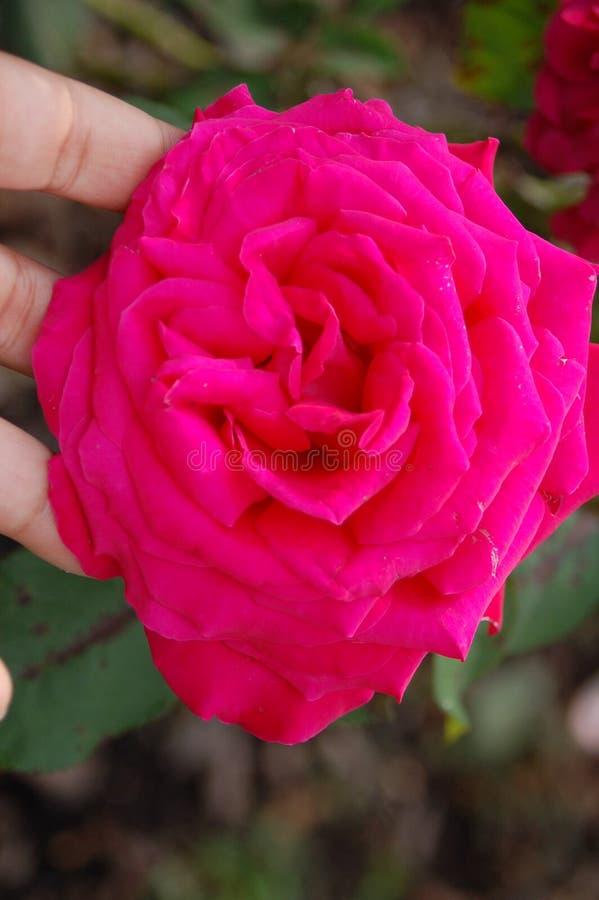 Mörk rosa blomma som rymms i fingerspetsar royaltyfria foton