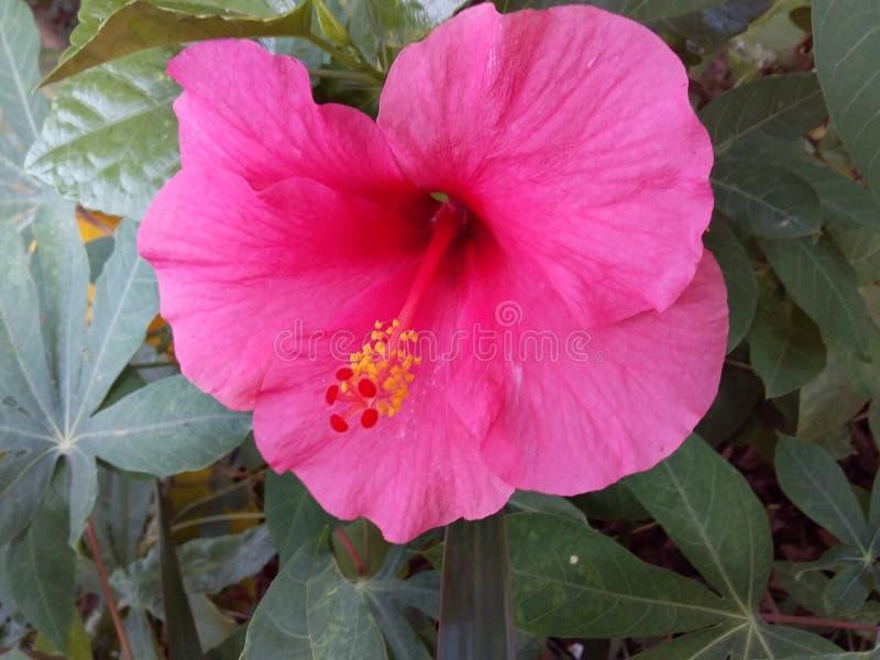 Mörk rosa hibiskusblomma arkivfoto