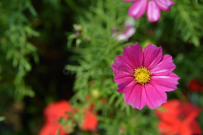 Mörk rosa krysantemum royaltyfri fotografi