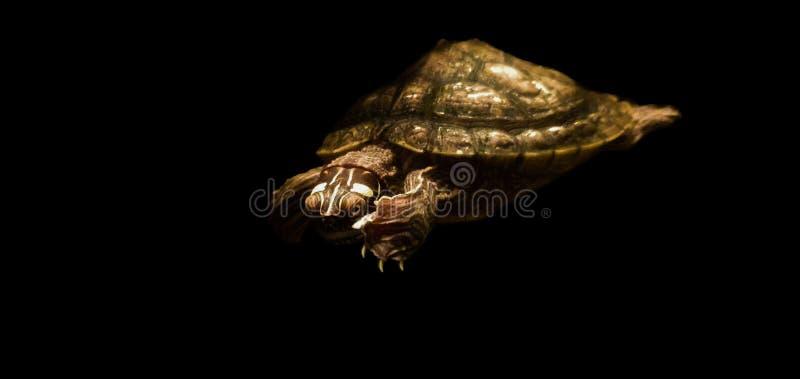 Mörk sköldpadda royaltyfri fotografi