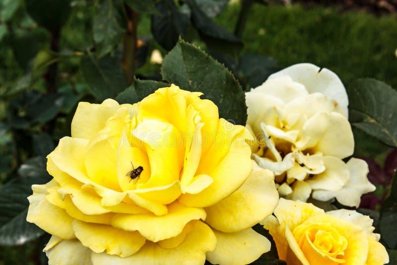 mörk skinande fluga på härlig gul ros i trädgård royaltyfria bilder