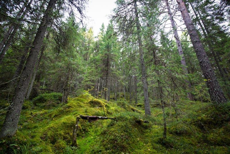 Mörk skogbakgrund arkivbilder