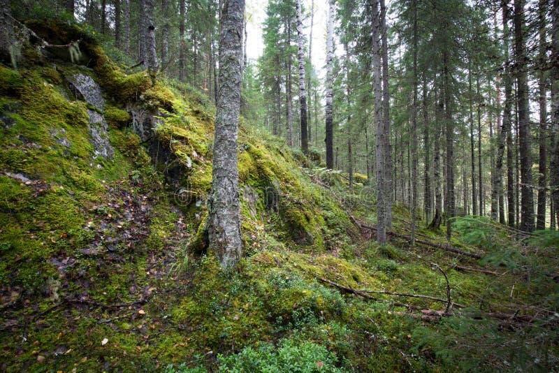 Mörk skogbakgrund royaltyfri fotografi
