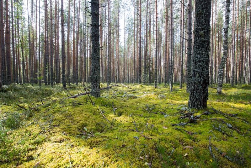 Mörk skogbakgrund royaltyfri bild