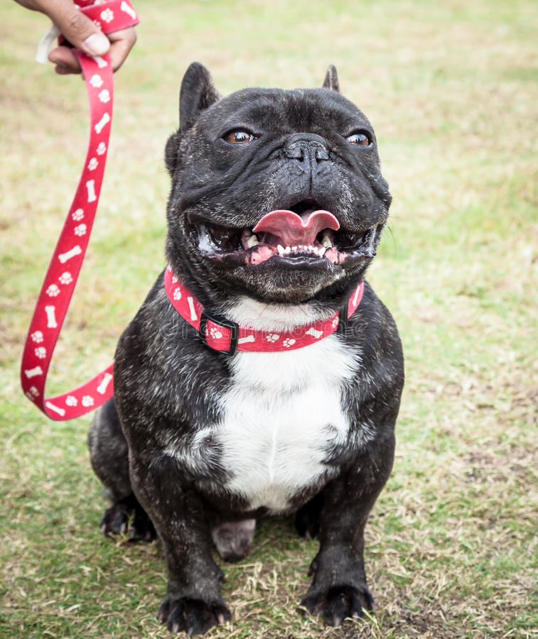 Mörk strimmig fransk bulldogg med den röda generiska koppeln royaltyfria bilder