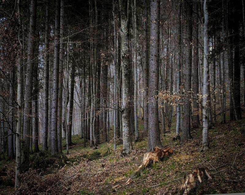Mörk stubbeskog för Carpathian berg arkivbild
