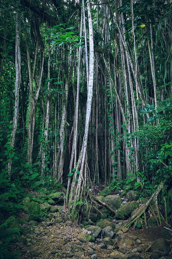 Mörk tropisk hawaiansk skog med lianer och tunna träd arkivbilder