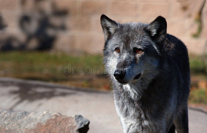 Download Mörk Wolf För Höger Sidastandingtimmer Fotografering för Bildbyråer - Bild av intensivt, fången: 277421