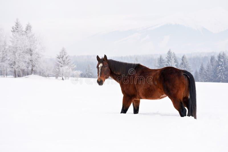 Mörka bruna hästar går på vintertäckt fält, oskarpa träd i bakgrunden, sikt från sidan royaltyfri bild