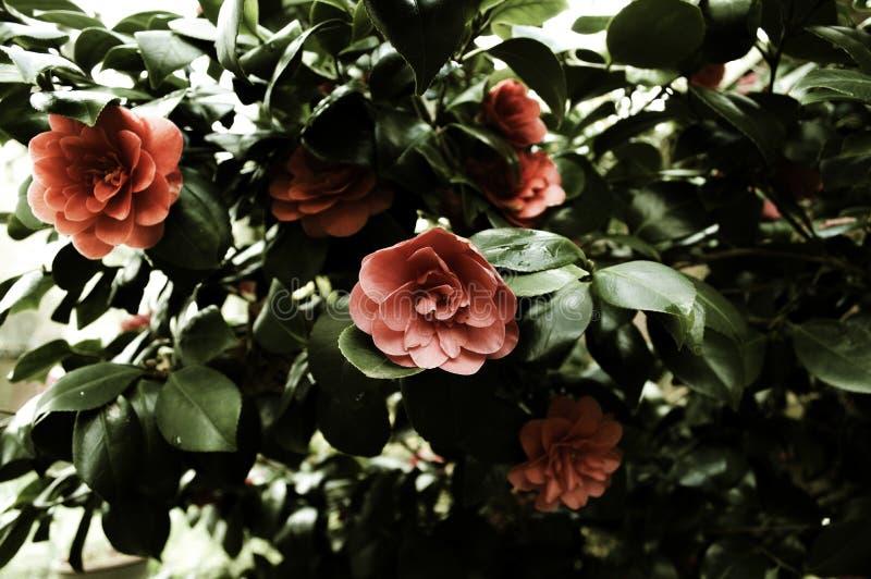 Mörka Camellia Bush arkivfoton