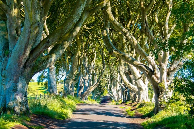 Mörka häckar i nordligt - Irland härlig aveny av populära bokträdträd och den berömda gränsmärket royaltyfri bild