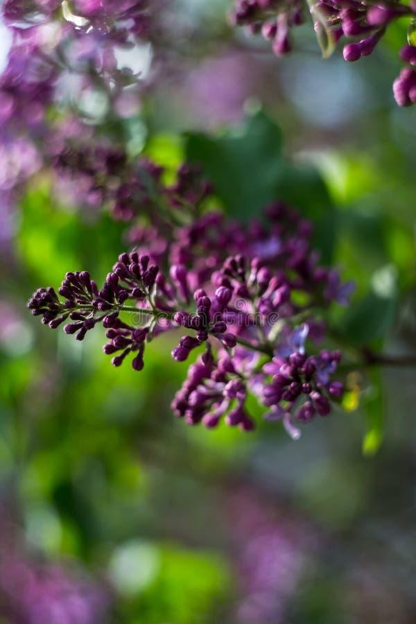 Mörka purpurfärgade lilablommor arkivbild