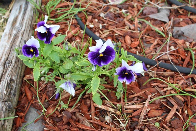 Mörka purpurfärgade och vita blommor royaltyfria foton