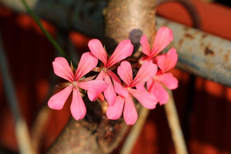 Mörka rosa blommande pelargoniablommor som ut når in mot solen över det rostade staketet på solnedgången royaltyfri bild